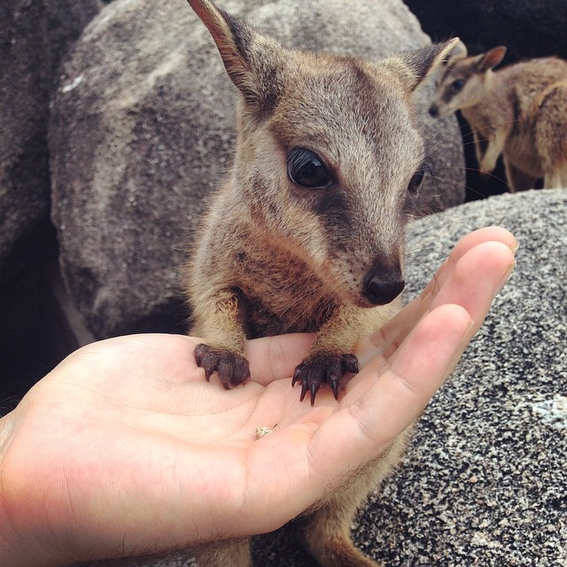 Feeding rock wallaby joeys on Magnetic Island. So cute! Thanks @katerinapassas for the photo xx